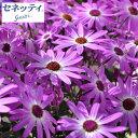 草花の苗/サイネリア:セネッティ豪華咲きラベンダーバイカラー...