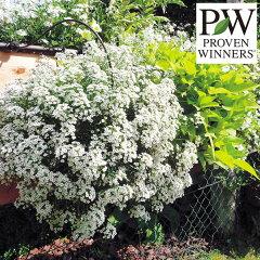 大輪 PW ホワイトガーデンに草花の苗/スーパーアリッサム:スノープリンセス3.5号ポット2株セット