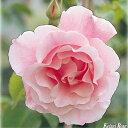 バラの苗/つるバラ:スパニッシュビューティ大苗長尺6号ポット