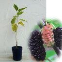 イチノセ 蚕飼育用品種 苗木果樹の苗/マルベリー(桑):一ノ瀬5号ポット