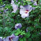 花木 庭木の苗/ムクゲ(槿):ブルーバード(オイセアブルー)樹高1m根巻き