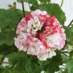 草花の苗/ゼラニウム:アップルブロッサムローズバッド4号鉢植え