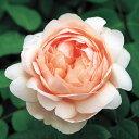 アプリコットのカップ〜ロゼット咲きイングリッシュローズ:アンブリッジローズ大苗5号角鉢植え...