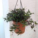 観葉植物/ブライダルベール5号鉢