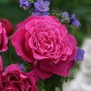 バラの苗/ギヨーローズ:ヴァンテロ大苗角鉢植え