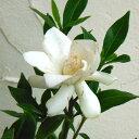 ヒメクチナシ花木 庭木の苗/クチナシ:コクチナシ5号ポット5株セット