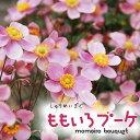 草花の苗/シュウメイギク(秋明菊):ももいろブーケ3.5号ポ...