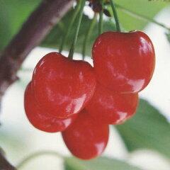 大実でおいしく、1本で結実・授粉樹にも向く 苗木果樹の苗/サクランボ:紅きらり4.5号ポット