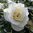 すばらしく花付きのよい白バラ四季咲中輪バラ:ファビュラス!新苗