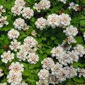 草花の苗/屋上緑化用イワダレソウ:クラピアK53号ポット