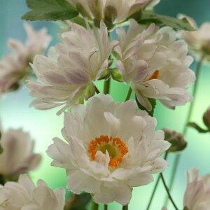 草花の苗/シュウメイギク(秋明菊):白八重(ボタン咲き)3〜3.5号ポット