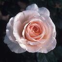 受賞多数!芳香がすばらしい杏色のアンティークタッチのバラハイブリッドティー:アンドレ ルノ...