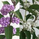 花木 庭木の苗/[実付き]ムラサキシキブ(紫式部)2種セット(紫実と白実)