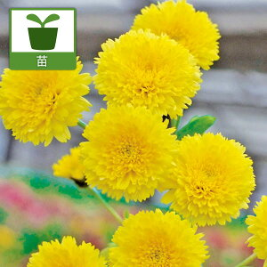 花びらを料理にトッピングやさいの苗/美食菊:星のかけら3号ポット[02P30May15]