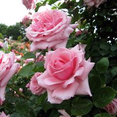 ピンク色四季咲きの強健種つるバラ:羽衣(はごろも)新苗