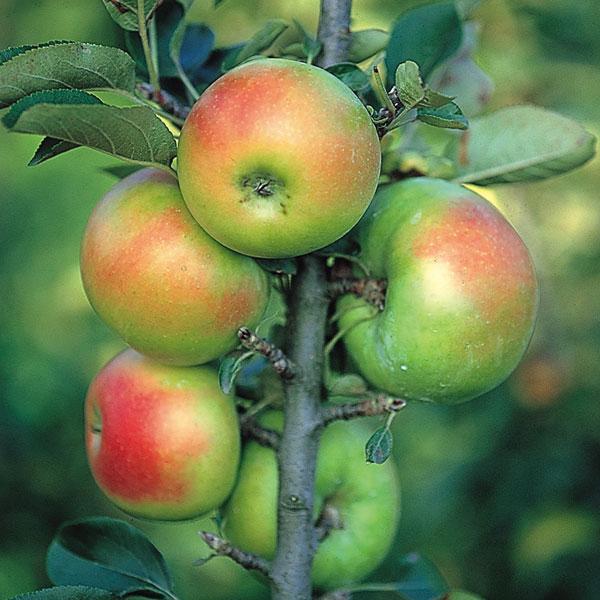 苗物, 果物の苗物 45
