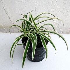 観葉植物/オリヅルラン(外斑)3号ポット[02P07Feb16]