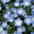 草花の苗/ネモフィラ:インシグニスブルー3〜3.5号ポット 12株セット
