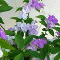 花木庭木の苗/ニオイバンマツリ(ブルンフェルシア)5号鉢植え