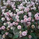 草花の苗/ポリゴナム(ヒメツルソバ)3〜3.5号ポット2株セット