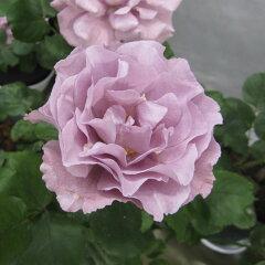 ラベンダー色の美しいばら四季咲中輪バラ:エンジェルフェイス大苗