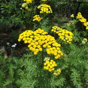 虫よけ・ハエよけ・防虫剤になるハーブ 染色にもハーブの苗/タンジー3号ポット2株セット