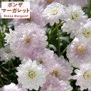 草花の苗/ボンザマーガレット:オペラ咲きサクラ3.5号ポット2株セット[02P2…