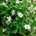 草花の苗/屋上緑化用イワダレソウ:クラピア白系(S1)3号ポット