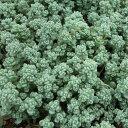 草花の苗/セダム:ブレビフォリウム3号ポット