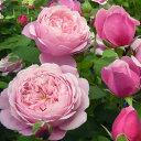 人気品種!ディープカップの強健な四季咲つるバラバラの苗/デルバールローズ:シャンテ・ロゼ・...
