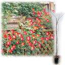 バラの苗/つるバラ:カクテル 大苗長尺6号ポット
