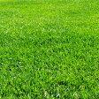 [極細葉、極緻密、高品質、わい性の芝タネ 約50平米分]芝の種:トールフェスク インフェルノ1kg