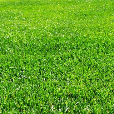 【ラッキーシール対応】芝の種:トールフェスク インフェルノ1kg