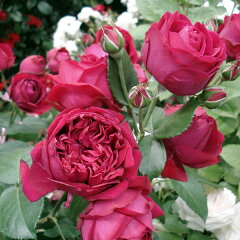 四季咲き アンティークタッチのバラつるバラ:ルージュ ピエール・ド・ロンサール大苗