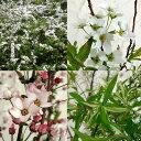 花木 庭木の苗/ユキヤナギ(雪柳)4.5〜5号ポット3種セット(白・ピンク・斑入り)