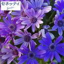 草花の苗/サイネリア:セネッティ豪華咲きブルー3.5号ポット...