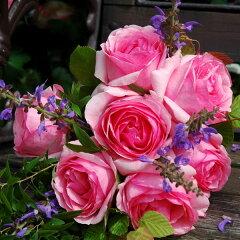 ロゼット咲きの愛らしいバラ 四季咲きつるバラ:ヒストリー大苗