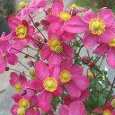 草花の苗/秋明菊(シュウメイギク):花笠祭り4号ポット