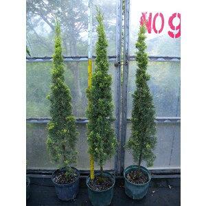 大型 スワンズゴールド花木 庭木の苗/イタリアンサイプレス(イトスギ):スウェンズゴールド8...