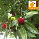 毎年結実するおいしいやまもも 苗木果樹の苗/ヤマモモ(山桃):瑞光(ずいこう)4号ポット