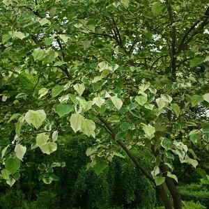 花木 庭木の苗/アメリカハナズオウ:シルバークラウド7号ポット