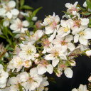 花も実も楽しめる プチチェリー花木 庭木の苗/ニワザクラ(庭桜):白花一重4号ポット