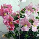 草花の苗/ネメシア:メーテル3.5号ポット2種セット(エレーヌ・萌々子)