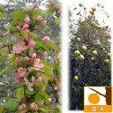 庭木に人気・果実はかりん酒に!ピンクの花と香りのよい実 苗木果樹の苗/カリン(花梨)4〜5号ポ...