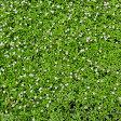 草花の苗/屋上緑化用イワダレソウ:クラピア3号ポット10株セット