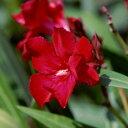 強健で夏に切れ目なく花を咲かせます花木 庭木の苗/キョウチクトウ(夾竹桃):カーディナル(赤...