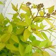 花木 庭木の苗/シモツケ:ライムマウンド 5号ポット