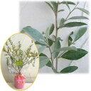 オリーブに似た銀色の葉が美しい常緑樹 芳香花と果実も 苗木の贈り物花木 庭木の苗/苗木ギフト...