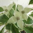 葉焼けも比較的少ない貴重なカラーリーフ花木花木 庭木の苗/ ヤマボウシ:ウルフアイ6号ポット