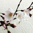 大型 サクラ・エドヒガン系 シキザクラ花木 庭木の苗/桜:四季桜接木苗4〜5号ポット